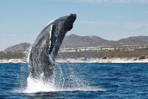 Every year, Los Cabos is visited by several thousand whales. There's no doubt it's the best spot in México if you're looking to see a variety of species. Photo: Carlos Aboyo