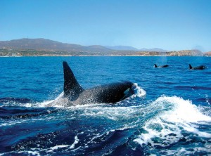 The easy-to-identify black-and-white orcas, also known as killer whales, seem to come as they please in Los Cabos, sometimes hanging around the whole year. PhotoL Courtesy Cabo Expeditions