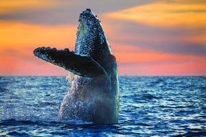 whale-cabo-jumping-sunrise-ortiz-0312-r2