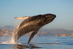 whale-jumping-cabo-ortiz-9762-r2