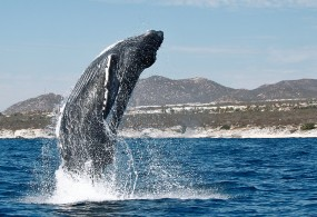 Whale Season Kicks Off in Los Cabos